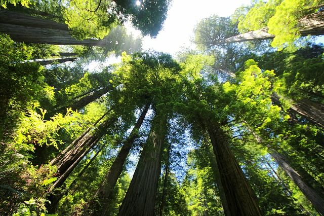 sequoia albero